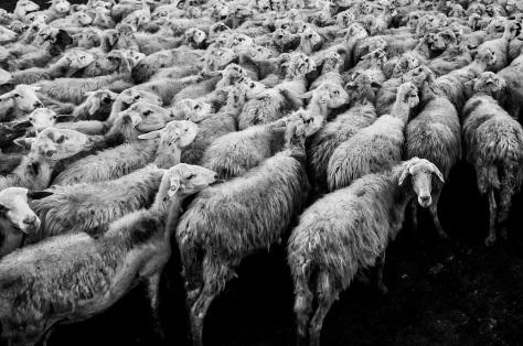 classe-media-flock-of-sheep